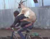 een geit als last